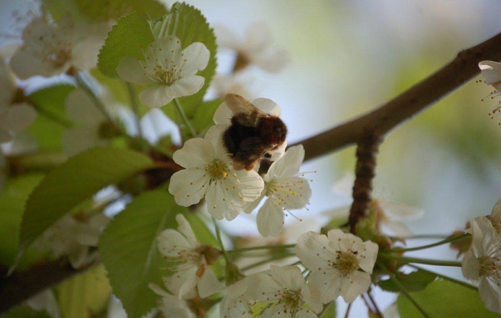 Biene auf einer Kirschblüte