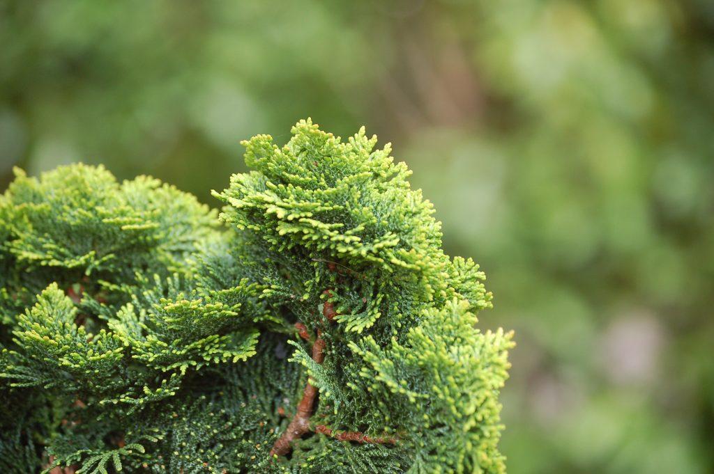 Fokussierte Muschelzypresse vor grünem Hintergund.